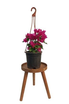SERVET GARDEN Bodur Begonvil Çiçeği- 15-30cm 0