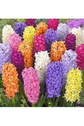 ata tohumculuk Tohum Karışık Renkli Sümbül Çiçeği Tohumu 10 Adet 1