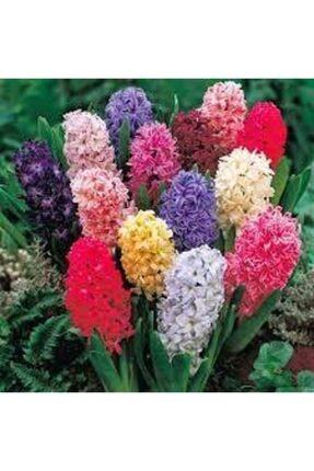 ata tohumculuk Tohum Karışık Renkli Sümbül Çiçeği Tohumu 10 Adet 2