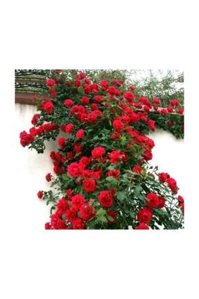 Çam Tohumculuk Ithal Nadir Kırmızı Sarmaşık Gül Tohumu 5 Adet Tohum Kırmızı Gül Tohumu 4