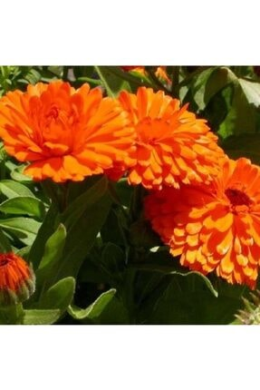 EvveBahce Turuncu Aynısafa( Calendula Officinalis.) Çiçeği Tohumu(40 Tohum) 0