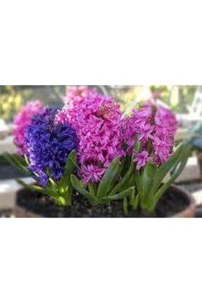 ata tohumculuk Tohum Karışık Renkli Sümbül Çiçeği Tohumu 10 Adet 3