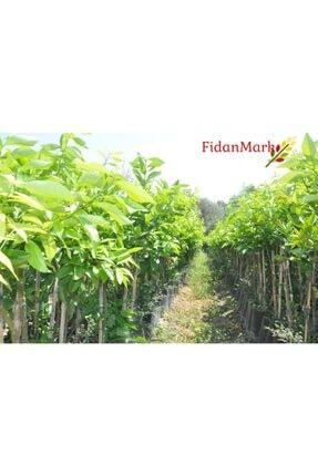 FidanMark Tüplü Yediveren Limon Fidanı +2 Yaş Aşılı Saksı Yetiştiriciliğine Uygun (90-150 Cm) 1
