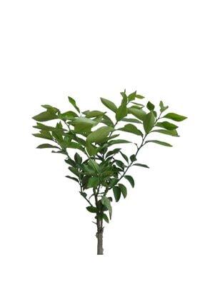 FidanMark Tüplü Yediveren Limon Fidanı +2 Yaş Aşılı Saksı Yetiştiriciliğine Uygun (90-150 Cm) 2