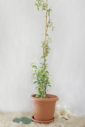Gizemcan Çiçek Çilik Yasemin Arap Saksılı 1
