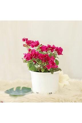 Gizemcan Çiçek Çilik Begonvil 0