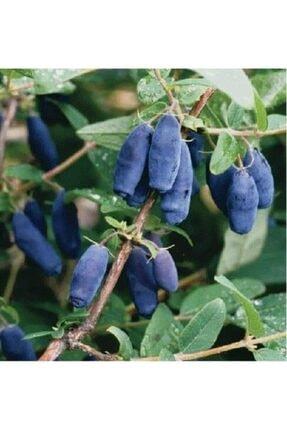 Ebruli Tüplü Fidan Honeyberry Bal Yemişi Meyve ve Fidanı 0