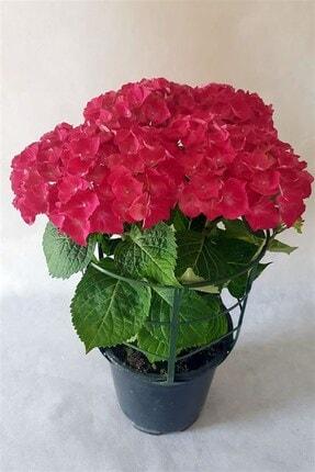 Online Botanik Ortanca (40~60 Cm, Kırmızı) 0