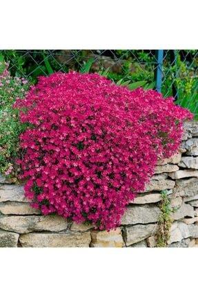 KAMONDO TOHUM 10 Adet Kırmızı Renkli Sarkan Obrizya Çiçek Tohumu 0