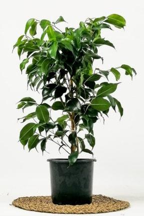 Fidanburada Ficus Benjamina Danielle-Benjamin Bitkisi 80cm 0
