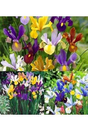 GüçlüTedarik Karışık Iris Soğanı -5 Adet Soğan 2