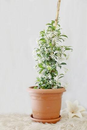 Gizemcan Çiçek Çilik Yasemin Arap Saksılı 0