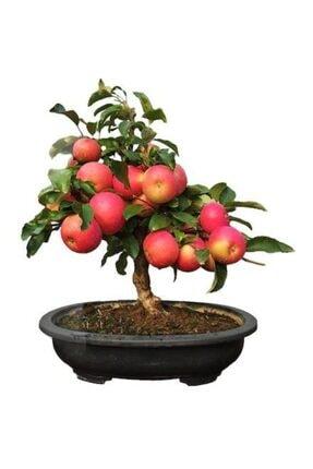Nadir Ithal Elma Bonzai Ağacı Tohumu 3 Tohum Bonsai Tohumu 20372