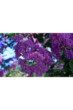 ruzgarbotanik Mor Oya Ciçeği Fidanı 60 cm Saksılı 1