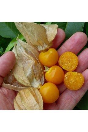 mutbirlik Şifalı Altın Çilek Yer Kirazı Meyvesi Fidesi-5 Adet 3