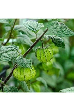 mutbirlik Şifalı Altın Çilek Yer Kirazı Meyvesi Fidesi-5 Adet 2