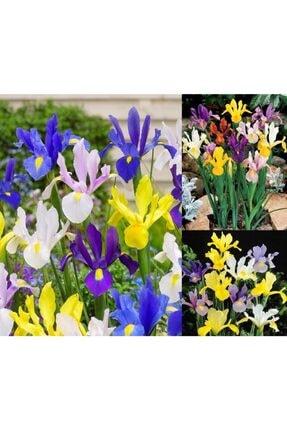 GüçlüTedarik Karışık Iris Soğanı -5 Adet Soğan 1