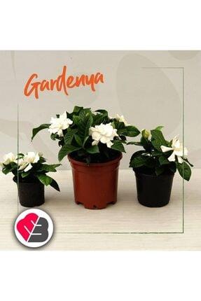 mutbirlik Saksıda Yoğun (kokulu) Gardenya Çiçeği 0