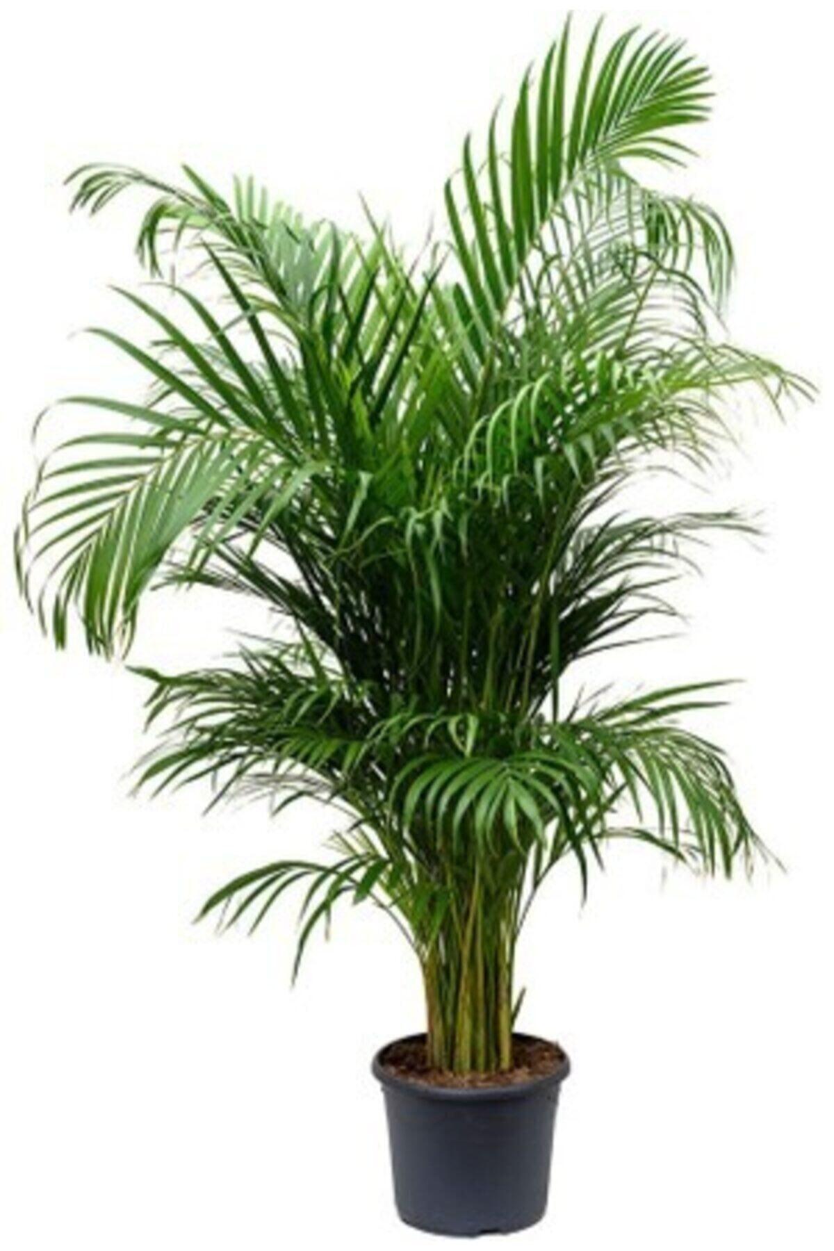Areka Palmiyesi Areca Lutescens 140 - 150 Cm