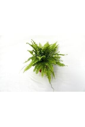 Peyzaj Burada Online Bahçe Market Ahsen Çiçek Evi Fujer Aşk Merdiveni Nephrolepsis Exaltata 2