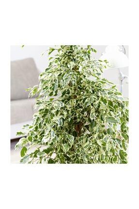 SalonBitkileri Benjamin Ficus Starlight Çiçeği 2
