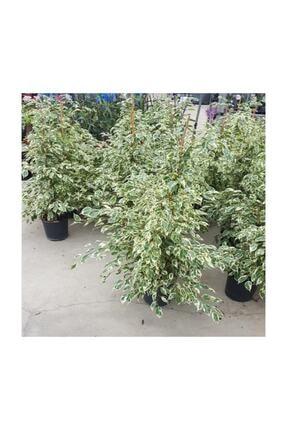 SalonBitkileri Benjamin Ficus Starlight Çiçeği 3