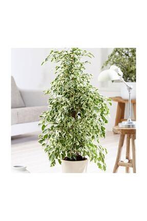 SalonBitkileri Benjamin Ficus Starlight Çiçeği 0