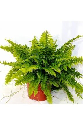 Peyzaj Burada Online Bahçe Market Ahsen Çiçek Evi Fujer Aşk Merdiveni Nephrolepsis Exaltata 1