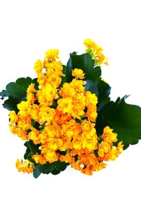 MF Botanik Kalanşo Çiçeği Kalanchoe Çiçeği Bitki Ev Ofis Bitkisi 20 - 25 Cm Turuncu 1