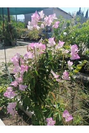 Çiçekli Bodur Bitki