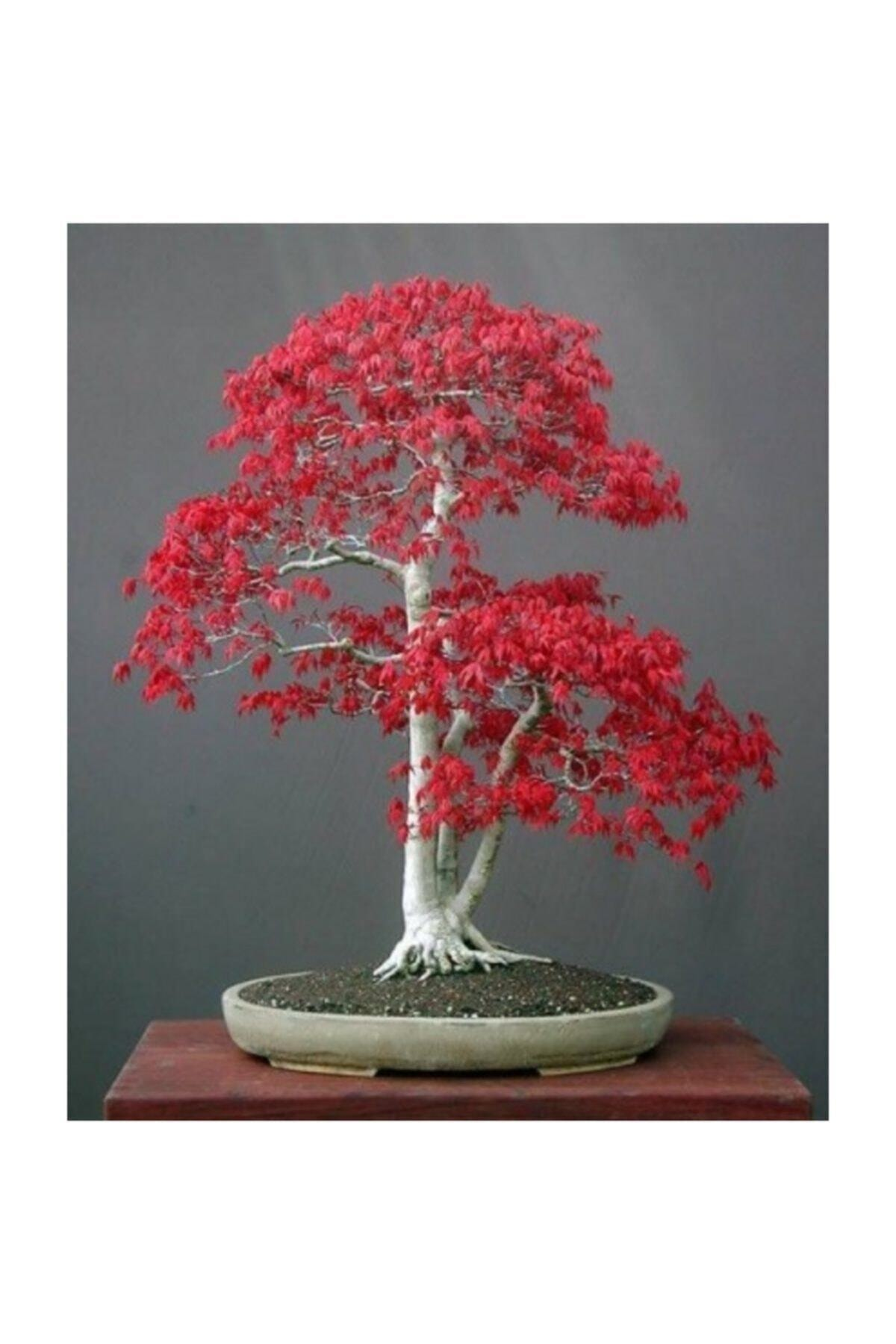 Bodur Acer Rubrum Bonzai Ağacı Tohumu 5 Adet Bonsai Ağacı Tohumu