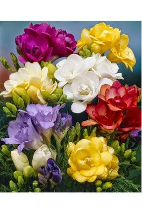 Çiçek Soğanı